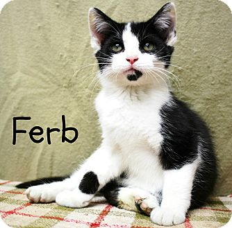 Domestic Shorthair Kitten for adoption in Taylor Mill, Kentucky - Ferb-Vocal, affectionate baby
