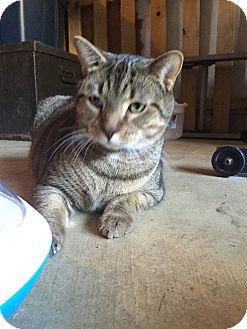 Domestic Shorthair Cat for adoption in Waldorf, Maryland - Billy
