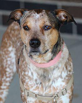 Cattle Dog Mix Dog for adoption in Lafayette, Indiana - Roux