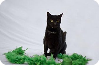 Domestic Shorthair Cat for adoption in Jefferson, North Carolina - Trick