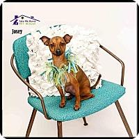 Adopt A Pet :: Josey - Richardson, TX