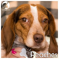 Adopt A Pet :: Peaches - Chicago, IL