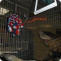 Adopt A Pet :: Zebra Finches - Neenah, WI