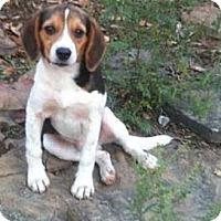 Adopt A Pet :: Waffles - Bentonville, AR