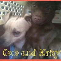 Chihuahua/Dachshund Mix Dog for adoption in Fresno, California - Coco