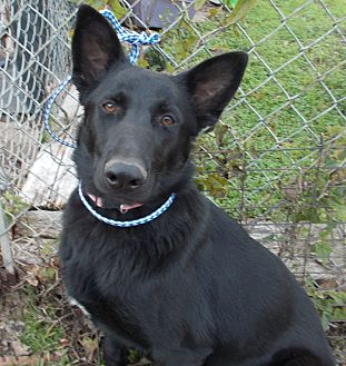 Labrador Retriever/Shepherd (Unknown Type) Mix Dog for adoption in Dallas, Texas - Rhoda