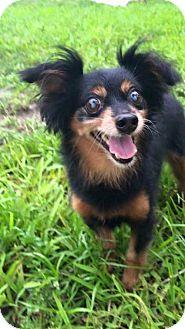 Dachshund Dog for adoption in Weston, Florida - Ewok