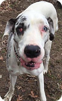 Great Dane Dog for adoption in Albany, New York - Daisy - URGENT