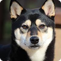 Adopt A Pet :: Chika - Manassas, VA