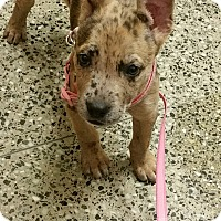 Adopt A Pet :: Scarlett - Chicago, IL