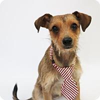Adopt A Pet :: Boots - Yucaipa, CA