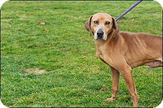 Weimaraner Mix Dog for adoption in Metamora, Indiana - Clint