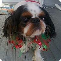 Adopt A Pet :: ollie - Cumberland, MD
