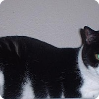 Domestic Shorthair Cat for adoption in Sarasota, Florida - Prancer