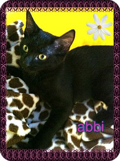 Domestic Shorthair Kitten for adoption in Los Angeles, California - Abbi