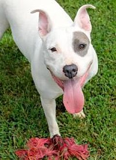 Pit Bull Terrier Dog for adoption in Memphis, Tennessee - Sabrina