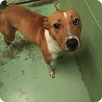 Adopt A Pet :: Winston - Gadsden, AL