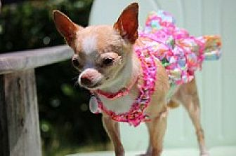 Chihuahua Mix Dog for adoption in Fountain Valley, California - Betty White