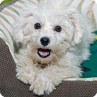 Adopt A Pet :: Francois - New York, NY