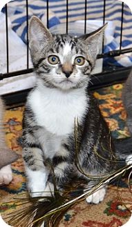 Domestic Shorthair Kitten for adoption in Davis, California - Jag