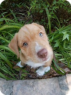 Terrier (Unknown Type, Medium) Mix Dog for adoption in Humble, Texas - Juju