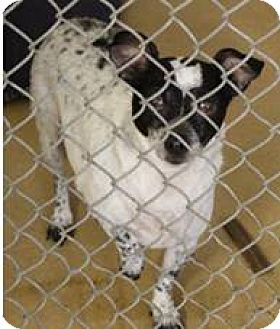 Jack Russell Terrier Mix Dog for adoption in Blue Bell, Pennsylvania - Bo