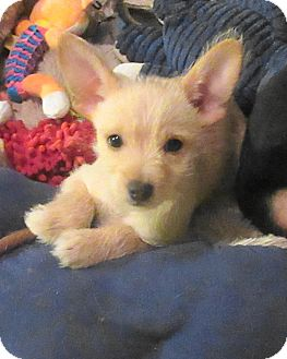 Terrier (Unknown Type, Small) Mix Puppy for adoption in Palm Springs, California - Tucker