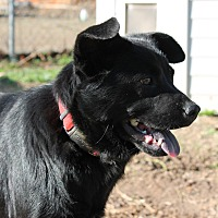 Flat-Coated Retriever/Schipperke Mix Dog for adoption in Brattleboro, Vermont - Lacon - REDUCED ADOPTION FEE