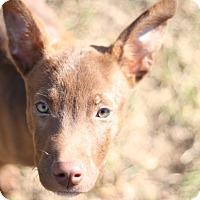 Adopt A Pet :: Remy - Fishkill, NY