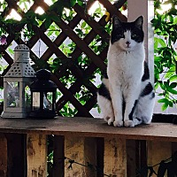 American Shorthair Cat for adoption in Pomona, California - Lucy
