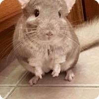 Adopt A Pet :: Mr Fuzzy Pants - Libertyville, IL