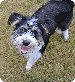 Border Collie/Tibetan Terrier Mix Dog for adoption in Upper Marlboro, Maryland - Griffon