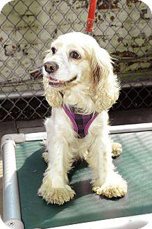 Cocker Spaniel Dog for adoption in New York, New York - Janice