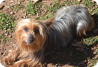 Yorkie, Yorkshire Terrier Dog for adoption in Greensboro, North Carolina - Katie