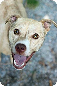 Labrador Retriever Mix Dog for adoption in Tinton Falls, New Jersey - Twiggy