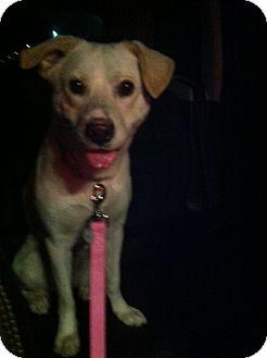 Labrador Retriever Mix Dog for adoption in Las Vegas, Nevada - Daisy