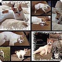 Adopt A Pet :: Skittles - Washington, DC