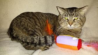 Domestic Shorthair Cat for adoption in Iroquois, Illinois - Chubbs