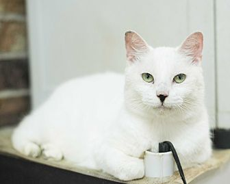 Domestic Shorthair Cat for adoption in Houston, Texas - Snow