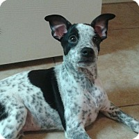 Chihuahua/Australian Cattle Dog Mix Puppy for adoption in Tonopah, Arizona - Joker