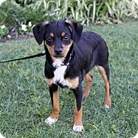 Adopt A Pet :: RANGER - Newport Beach, CA