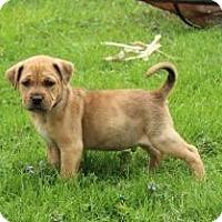 Adopt A Pet :: Duke - Joliet, IL