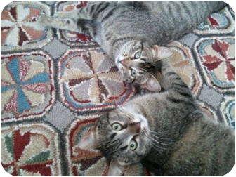 Domestic Mediumhair Cat for adoption in Roseville, Minnesota - Pretty Girls