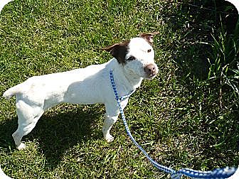 Jack Russell Terrier Dog for adoption in Wisconsin Dells, Wisconsin - HERBIE