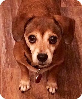 Dachshund Mix Dog for adoption in Phoenix, Arizona - Mona