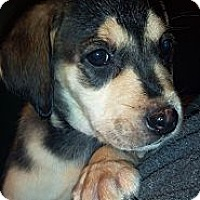 Adopt A Pet :: Brandy - Morgantown, WV