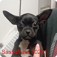 Adopt A Pet :: Sassafrass - baltimore, MD