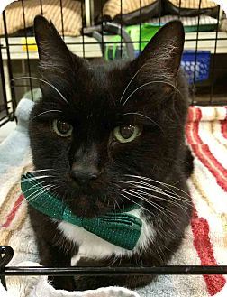 Domestic Shorthair Cat for adoption in Gaithersburg, Maryland - Sean Connery