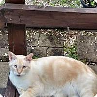Domestic Shorthair Cat for adoption in Delmont, Pennsylvania - Kringle