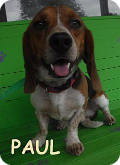 Basset Hound/Beagle Mix Dog for adoption in Batesville, Arkansas - Paul